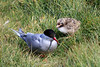 Iceland_Arctic_Tern_With_Chick_2016_0068