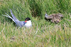 Iceland_Arctic_Tern_With_Chick_2016_0089