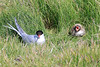 Iceland_Arctic_Tern_With_Chick_2016_0098