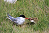 Iceland_Arctic_Tern_With_Chick_2016_0062