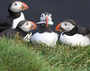 Iceland Atlantic Puffin-1
