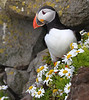 Iceland Atlantic Puffin-26
