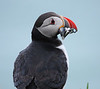 Iceland Atlantic Puffin-15