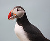 Iceland Atlantic Puffin-16