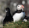 Iceland Atlantic Puffin-5