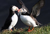 Iceland Atlantic Puffin-8