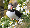 Iceland Atlantic Puffin-25
