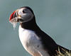 Iceland Atlantic Puffin-13