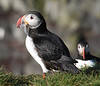 Iceland Atlantic Puffin-2