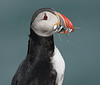 Iceland Atlantic Puffin-19