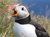 Iceland Atlantic Puffin-24