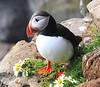 Iceland Atlantic Puffin-23