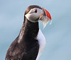Iceland Atlantic Puffin-10