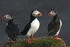 Iceland Atlantic Puffin-3