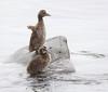 Common Eider Chicks Iceland