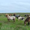 Icelandic horses along the road to Landeyjahöfn