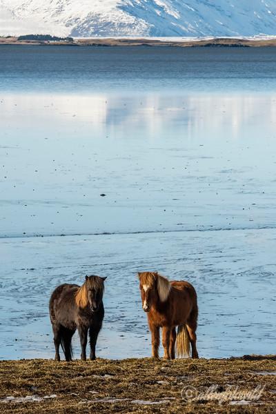 Two Icelandic horses by the water's edge, Stokksnes Peninsula, Iceland
