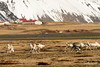 Herd of wild reindeer near Hvalnes, East Fjords, Iceland