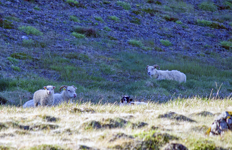 Sheep in East Fjords Iceland