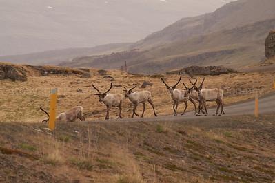 Reindeer Traffic