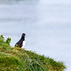 Arctic Puffin on Grimsey Island