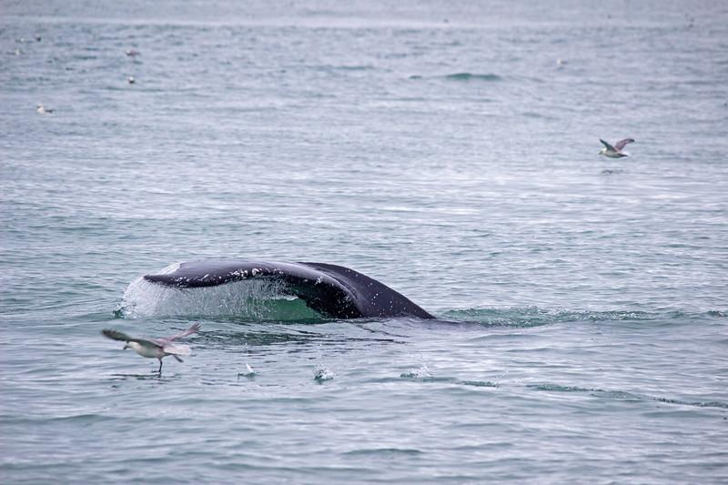 Whale Watching in Akureyri