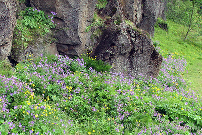Almannagjá wildflowers