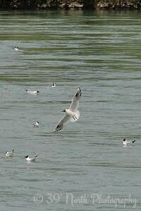 Black-headed Gull - Selfoss