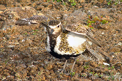 Golden Plover faking a broken wing to lure us away from her nest