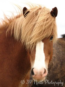 A particularly fine example of an Icelandic horse