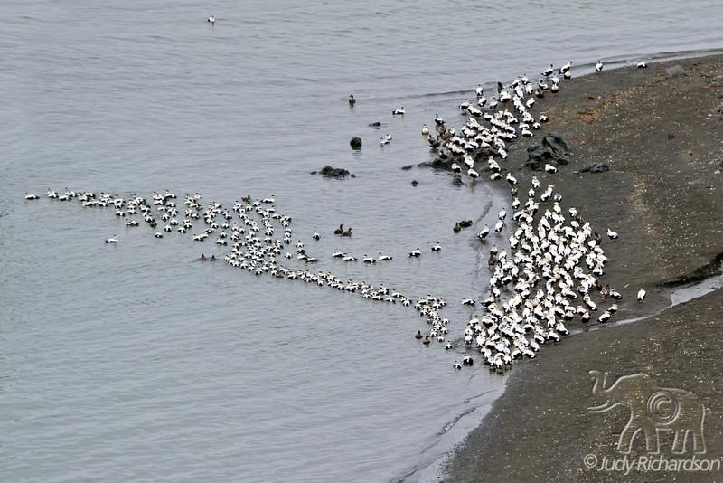 Common Eider flock