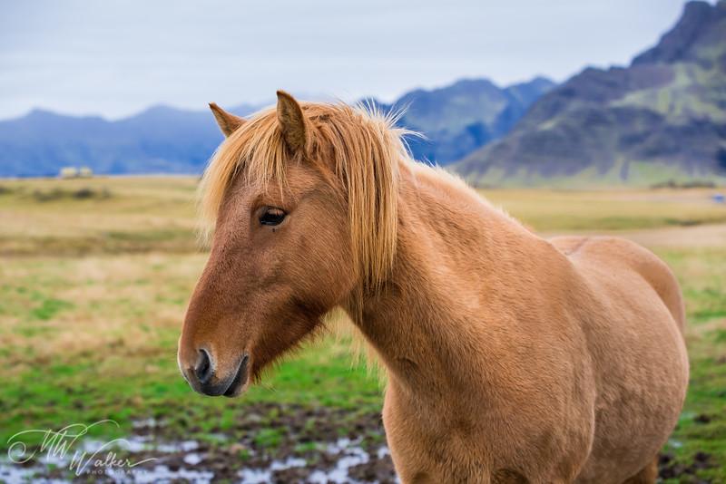 Icelandic Pony 2