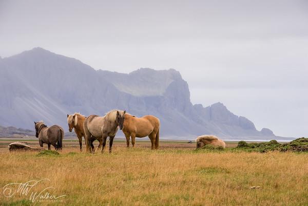 Shore Ponies