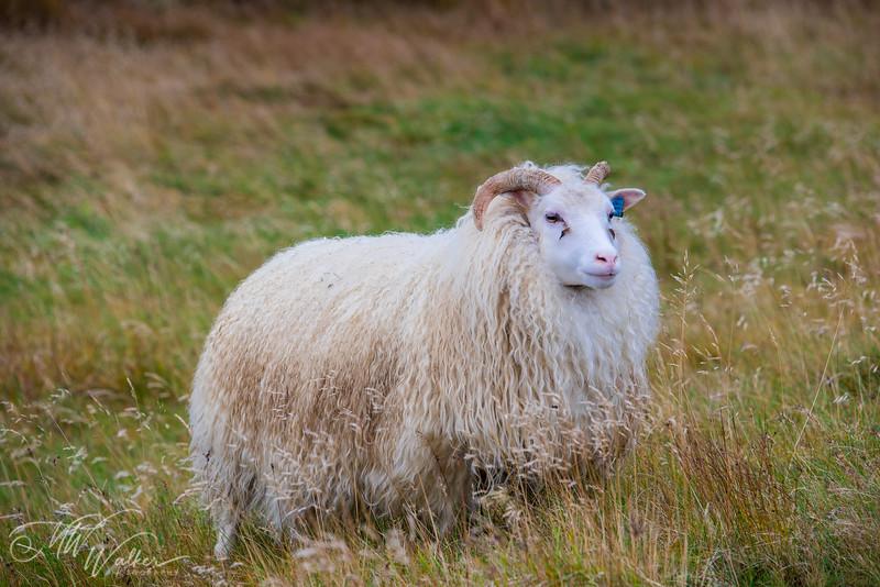 Saucy Sheep