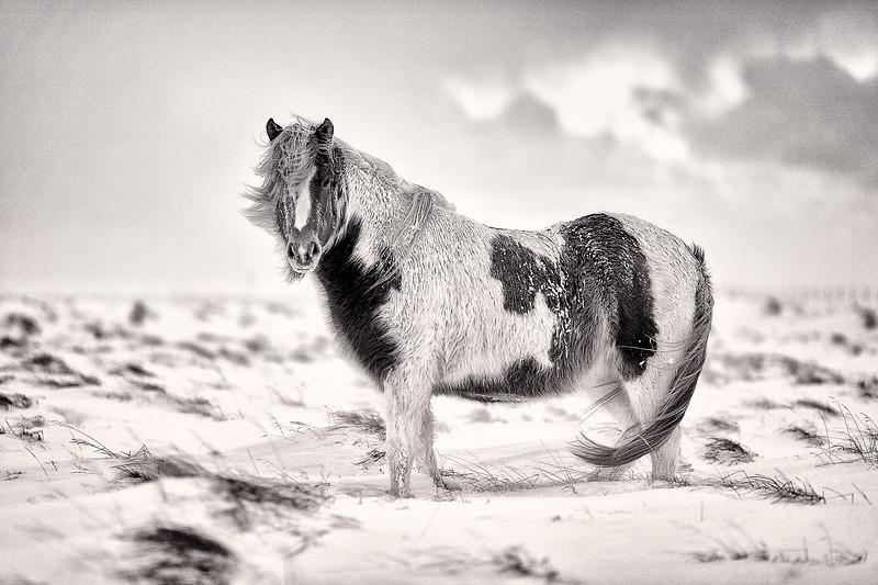 Hestur / Horse