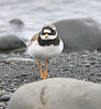 Ringed Plover Iceland