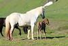Icelandic_Horse_Mother_Foal_2016_0104