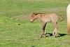 Icelandic_Horse_Mother_Foal_2016_0052