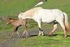 Icelandic_Horse_Mother_Foal_2016_0072