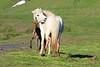 Icelandic_Horse_Mother_Foal_2016_0056