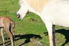 Icelandic_Horse_Mother_Foal_2016_0022