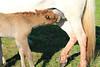 Icelandic_Horse_Mother_Foal_2016_0006