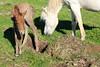 Icelandic_Horse_Mother_Foal_2016_0038
