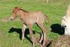 Icelandic_Horse_Mother_Foal_2016_0034
