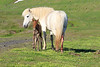 Icelandic_Horse_Mother_Foal_2016_0062