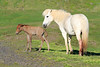 Icelandic_Horse_Mother_Foal_2016_0080