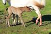 Icelandic_Horse_Mother_Foal_2016_0012