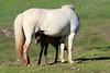 Icelandic_Horse_Mother_Foal_2016_0112