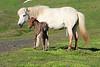 Icelandic_Horse_Mother_Foal_2016_0066