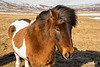 Chestnut pinto Icelandic horse with blowing mane, Aldeyjarfoss Road, Iceland